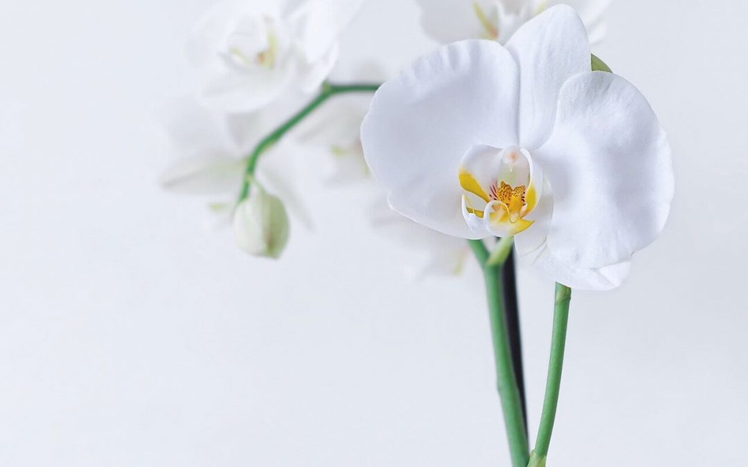 pet-safe indoor plants include the phalaenopsis orchid